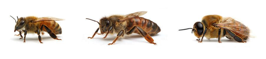Type of Bees
